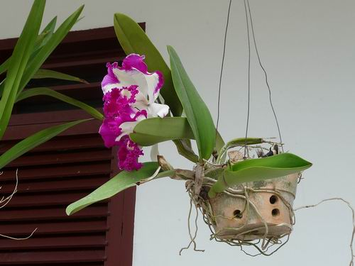 Orchiedee Siborong